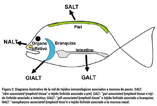 El sistema inmunológico olfativo de los salmónidos y el potencial de ...