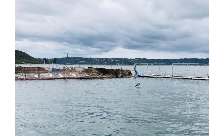 Escape de peces de centro de cultivo de salmón Tubildad de Ventisqueros. Foto: Sernapesca.