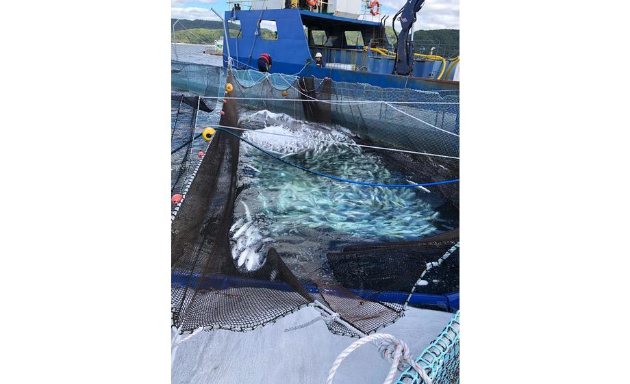 Mortalidad por FAN en centro de Salmones Camanchaca. Foto: Sernapesca.
