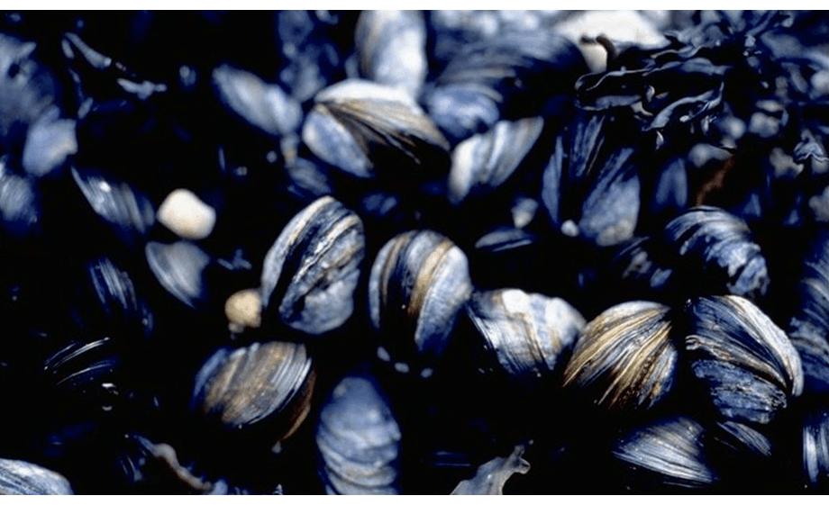 Illustrasjonsbilde av blåskjellanlegg. Foto: HI