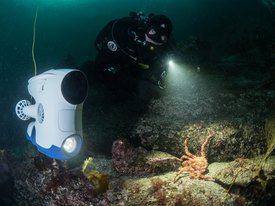 Blueye Pioneer og dykker ser på en trollkrabbe Foto: Blueye