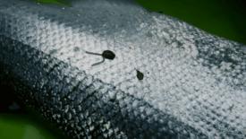 Arkivfoto: Parasitten lakselus er ikke farlig å spise.