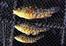 Villfanget leppefisk på teine. Foto: Tonje K Sørdalen.