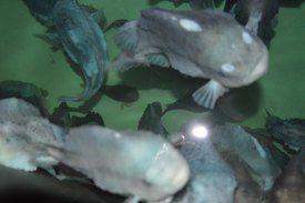 Forskning har vist at fisk på 15 gram har lavere dødelighet etter vaksinering, enn fisk på 10 gram. Foto: Therese Soltveit.