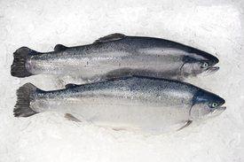 Eksport av ørret. Foto: Seaborn.