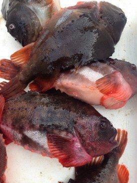 Rognkall fisket av Hans Petter Meland. Foto: Privat