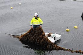 Peder Kolbeinshavn, i Lerøy har dratt opp litt av strekkene med tare som er satt ut i Ocean forest prosjektet, som er driftet av Lerøy og Bellona. Foto: Pål Mugaas Jensen.