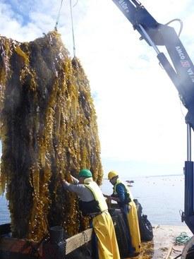 Taredyrking på Frøya i fjor. Foto: Jon Funderud, Seaweed Energy Solutions.