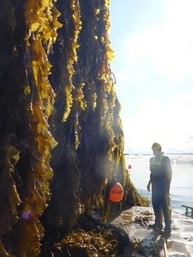 Taredyrking. Foto: Jon Funderud, Seaweed Energy Solutions.