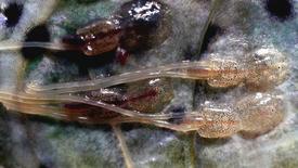 Lusekoordinator Ragnhild Malkenes mener oppdretterne må passe på at fisken som nærmer seg utslakt ikke bidrar til å øke lusepresset ved smoltutvandringen. Illustrasjonsbilde av lakselus. Foto: Havforskningsinstituttet.