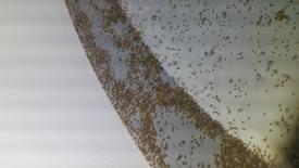 Nyklekte larver. Foto: Atlantic Lumpus AS.