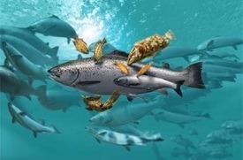 Laks og leppefisk i merd. Illustrasjonsfoto: MH/Fiskeridirektoratet.