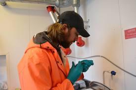 Kim Halvorsen injiserer farge for å merke leppefisken som brukes i forsøket hos Havforskningsinstituttet. Foto: Magnus Petersen.