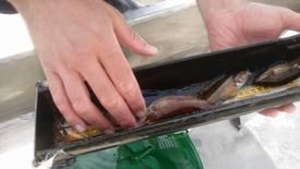Kartlegging av leppefisk utført av HI og Fjordservice. Foto: Fjordservice.