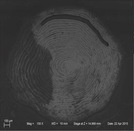Skanning elektronmikroskop bilde av settefiskskjell av Atlantisk laks. Ablasjonsdiameter 50 my. Foto: BelindaFlem, Norges geologiske undersøkelse.