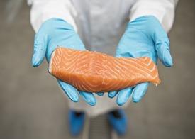 Det er i hovedsak fôret som påvirker fettsyresammensetningen i laksen. Men laksens gener bestemmer også en del. Foto: Nofima.