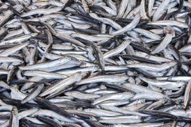 Demand is increasing for forage fish used to produce fishmeal for aquaculture.