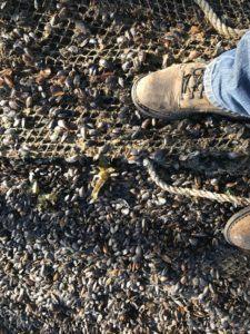 Los investigadores estatales descubrieron las redes llenas con mejillones en el centro de Cooke. Foto: Seattle Times / Departamento de Recursos Naturales.