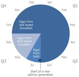 El calendario de entregas de ovas de salmón durante el año, se realiza en base a los reproductores. Ovas provenientes de reproductores en tierra, cultivados en estanques, son entregadas entre julio y septiembre. Ovas provenientes de reproductores cultivados en el mar, dentro de jaulasm son entregadas entre octubre y julio. Una nueva generación de salmones comenzará con la entrega de ovas de reproductores cultivados en tierra. Gráfico: Aquagen.