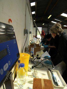 Sophie Fridman with MSc students Harry Hamlin-Wright and Lily Chang, sampling fish at Stirling University's Marine Research Laboratory at Machrihanish. Image: Sophie Fridman.
