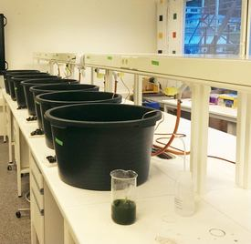 Experiments took place in tubs in a lab, where mussels devoured half the larvae. Photo: NTNU
