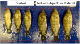 A comparison of tilapia grown with and without AquiNovo's feed additive. Photo: AquiNovo