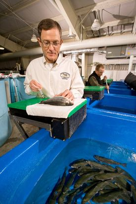 USDA fish physiologist Gibson Gaylord (foreground) collects blood from rainbow trout to measure plasma amino acid levels in fish fed diets containing an alternative ingredient, such as barley protein concentrate. Technician Jason Frost nets trout for the analysis. Photo: Steve Ausmus USDA/ARS