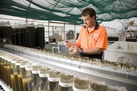 Shellfish Culture's Scott Parkinson inspecting selectively bred spat in a juvenile spat production system. Image: Peter Mathew/Shellfish Culture