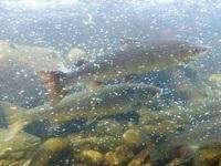 Namsen Settefisk ønsker å drive oppdrett på villaks. Foto: Erik Sterud