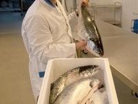 Tyrkerne setter strengere krav til merking av fisken som skal til humant konsum. Foto: Vegard Stensvold