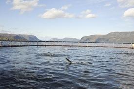 Nivået av giftstoffer har gått gradvis ned de siste årene, melder Nifes. Foto: Fred Jonny Hammerø/Marine Harvest
