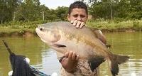 Fisken tambaqui er den vanligste oppdrettsfisken i Brasil og Amazonas. Foto: Nofima