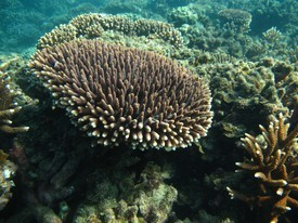 Corals such as this Acropora millepora also have the ability of produce omega-3. Photo: Line K Bay