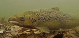 The Inner Bay of Fundy is genetically distinct from other Atlantic salmon. Photo: FSR