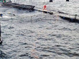 Según el informe de la empresa, serían 650 mil los salmones que escaparon. Foto: Marine Harvest Chile.