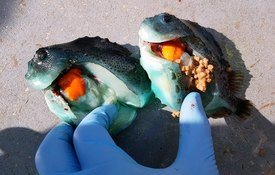 Rognkjeks (til venstre) med katarakt har ikke spist, mens den andre er i orden og har tatt til seg næring. Foto: SinkabergHansen.