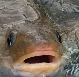Se torsken, se torsken, se torsken. En feit og fin og norsk en. Foto: Namdal Settefisk AS.
