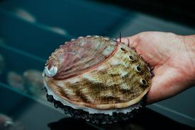 El abalón es una de las especies con las que se encuentra trabajando AquaPacífico. Foto: AquaPacífico.