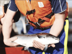 SSF salmon had high weight at harvest and achieved good prices. Photo: SSF.
