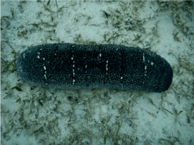 The sea cucumber can be used to recycle aquaculture waste.