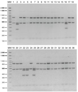 Resultados del PCR-RFLP de las muestras de campo. Patrones de restricción característicos del genogrupo LF-89 en los posillos 2, 16, 22, 23 y 25; patrones de restricción característicos del genogrupo EM-90 en los posillos restantes. Fuente: Aravena y col., 2020.