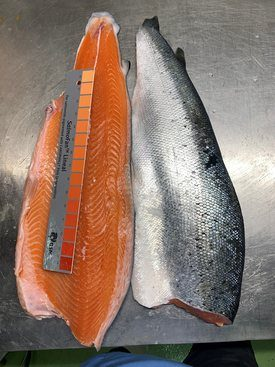 Ice Fish Farms' salmon have a strong colour.
