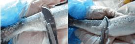 Producción de mucus en peces no vacunados (izquierda) y vacunados (derecha). Fuente: Tecnovax. (Click en la imagen para ampliar).