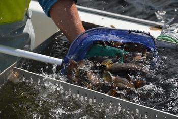 Skjerneset fisk ønsker nå å satse på berggylteproduksjon, samt produsere rogn til oppdrettere. Klikk for større bilde. Illustrasjonsfoto av fiske av berggylte: Therese Soltveit/Kyst.no.