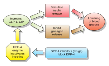 Explanatory diagram of the function of GLP-1 and dpp-4. Image: Wikkimedia commons.