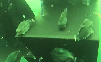 Her ser man at lusespiserne har sugd seg fast på rognkjeksskjulet. Bildet er tatt under uttesting hos Marine Harvest. Skjermdump/Estro-video.