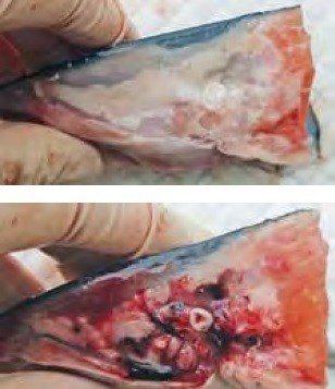Funn i hoderegionen hos atlantisk laks som nylig har gjennomgått termisk avlusing. (A) Normal. (B) Omfattende blødninger. Foto: Norsk veterinærtidsskrift.
