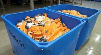 Biomega har en teknologi som gjør om ikke-konvensjonelle lakseprodukter som for eksempel hode, rygg og innmat og bioraffinerer dem til peptider,  olje og mel som brukes i blant annet akvakulturnæringen. Foto: Biomega Group.