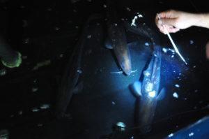 Para mediados de junio, se espera poder contar con más juveniles de las post larvas. Imagen: Colorado Chile.