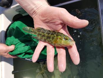 Arild Staurset sier de har fokus på at det skal være høy kvalitet på fisken han transporterer. Her viser han frem en berggylte som er klar for å gå løs på intetanende lus. Foto: Privat.